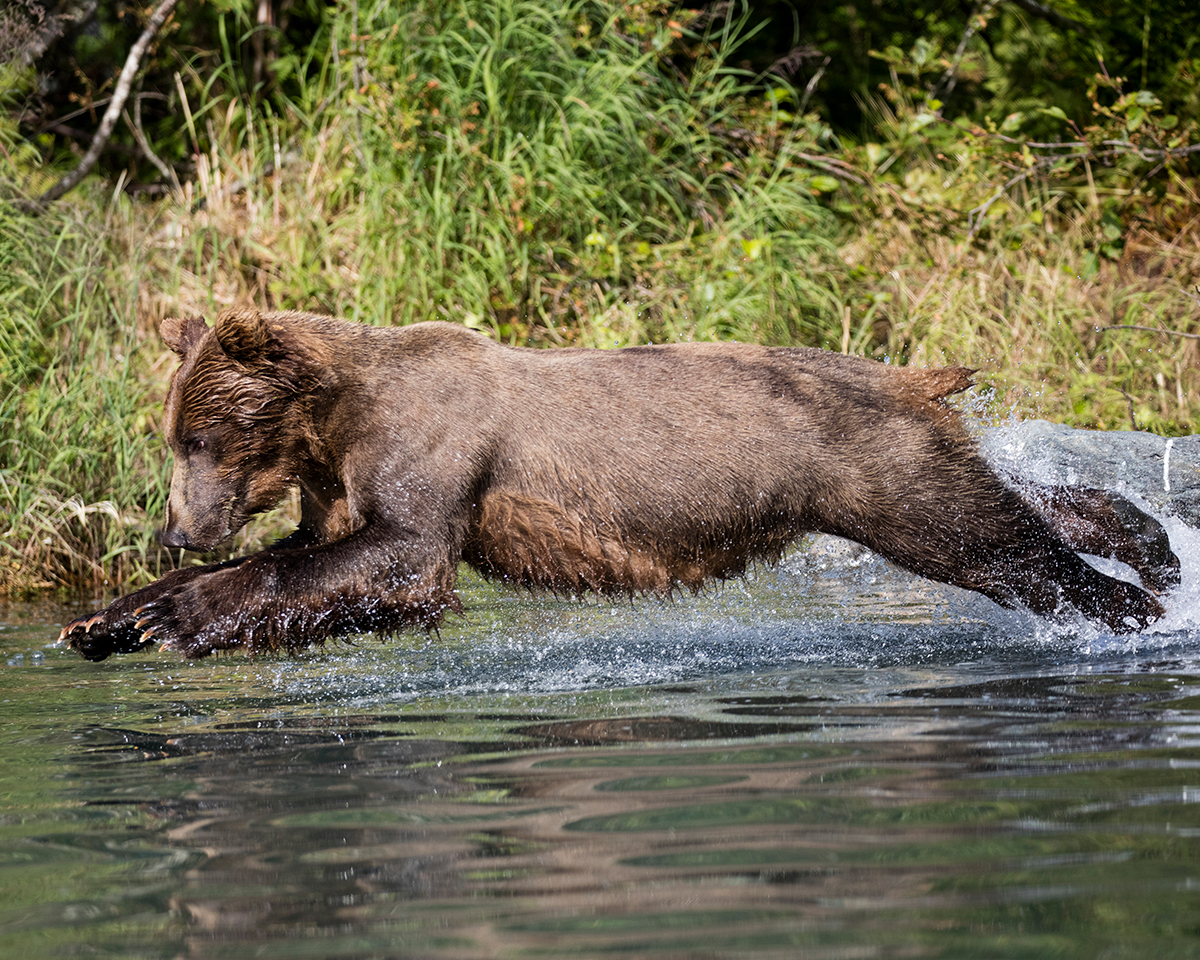 Coastal Brown Bear diving in for a swim