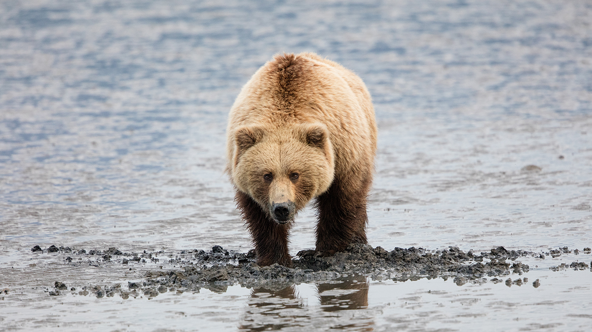 Coastal Brown Bear digging for clams in Chinitna Bay, AK