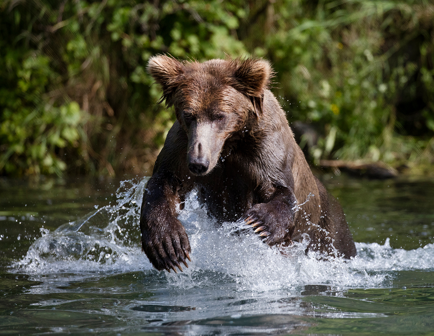 Coastal Brown Bear fishing in Wolverine Creek