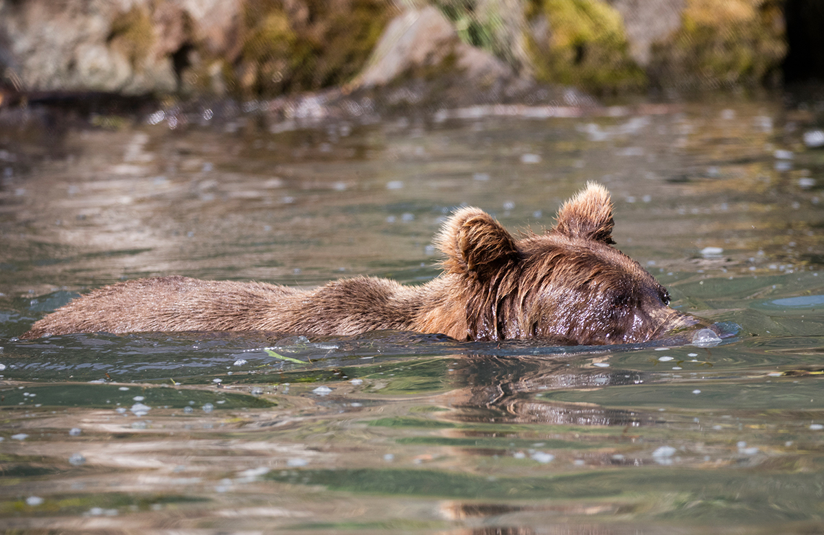 Coastal Brown Bear snoreling for fish
