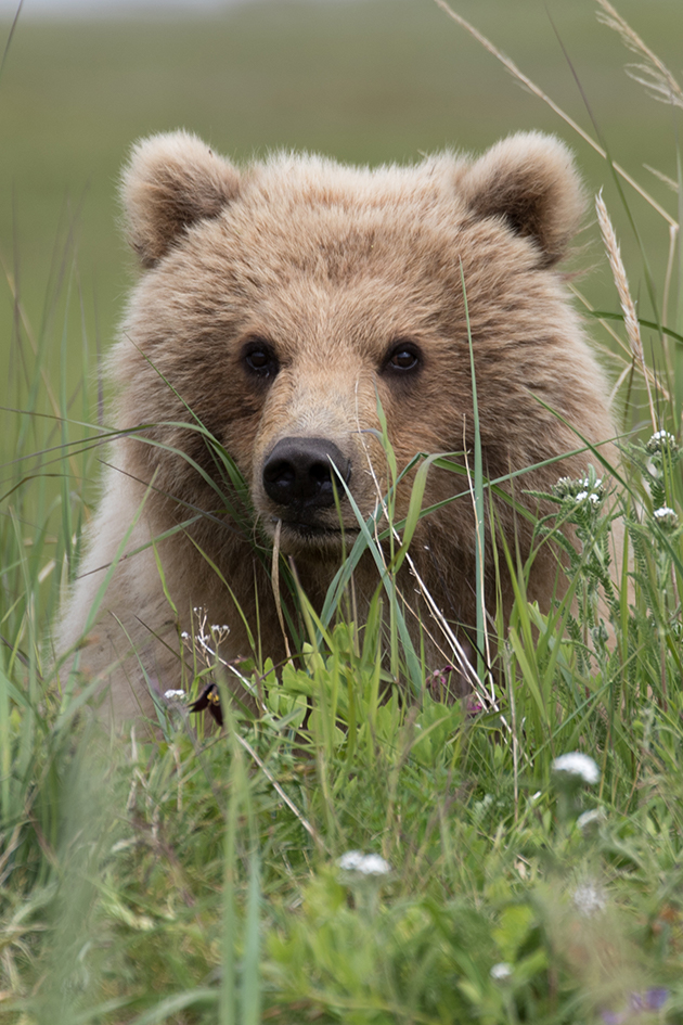 Coastal Brown Bear sitting in the grass