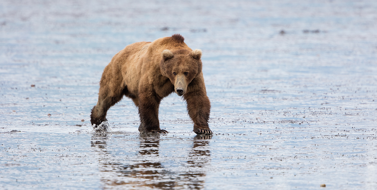 Coastal Brown Bear large male at low tide