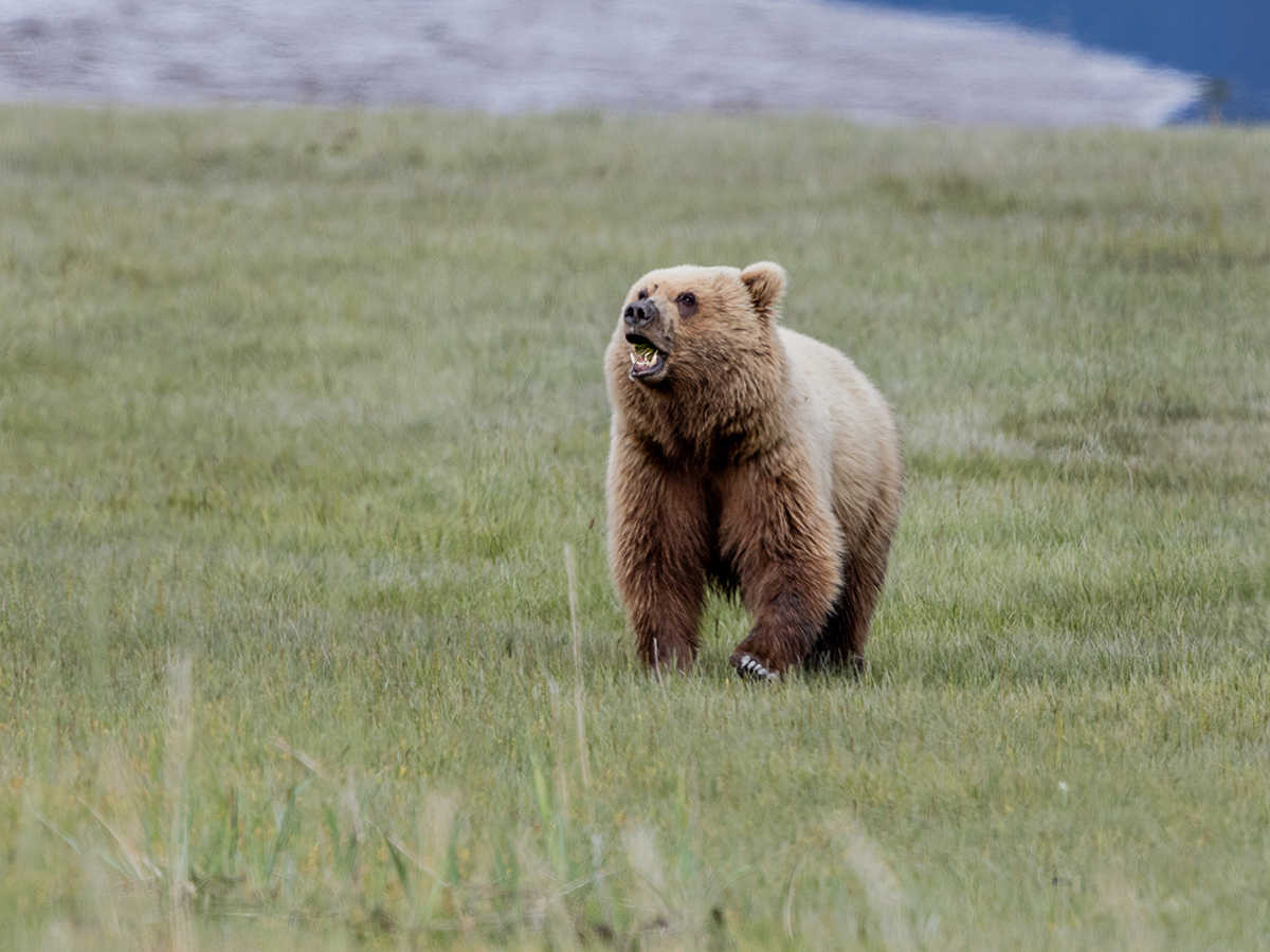 Coastal Brown Bear chewing on grass