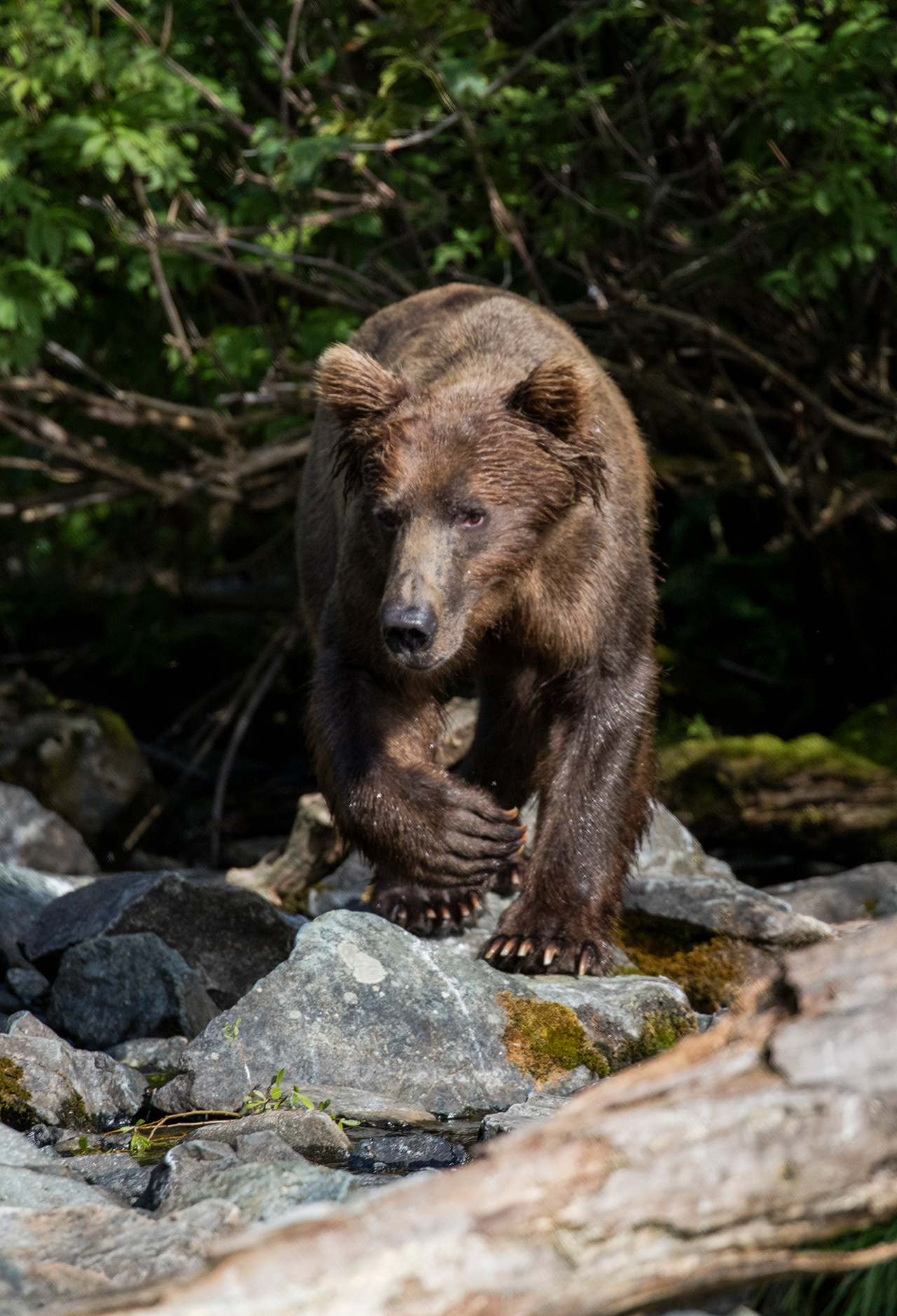 Coastal Brown Bear walking down the creek