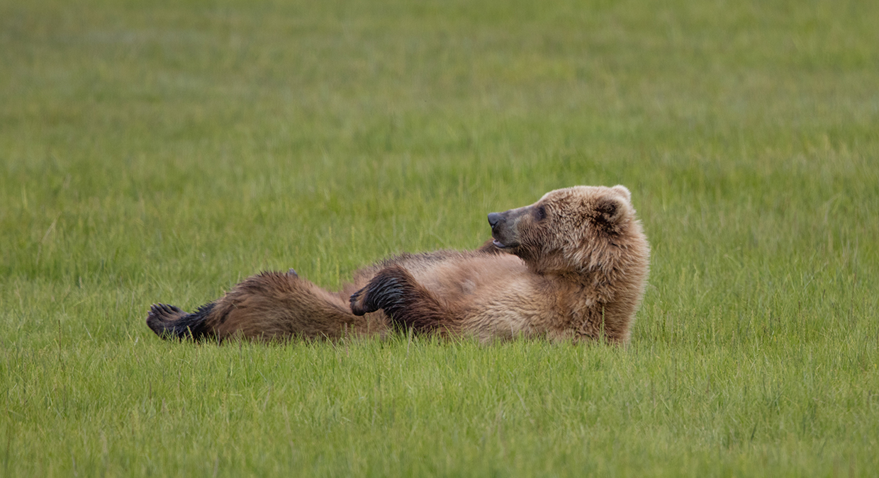 Coastal Brown Bear lying in the grass