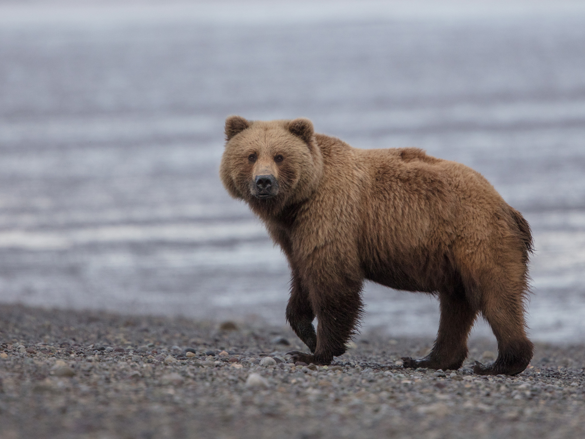 Coastal Brown Bear at low tide on Chinitna Bay
