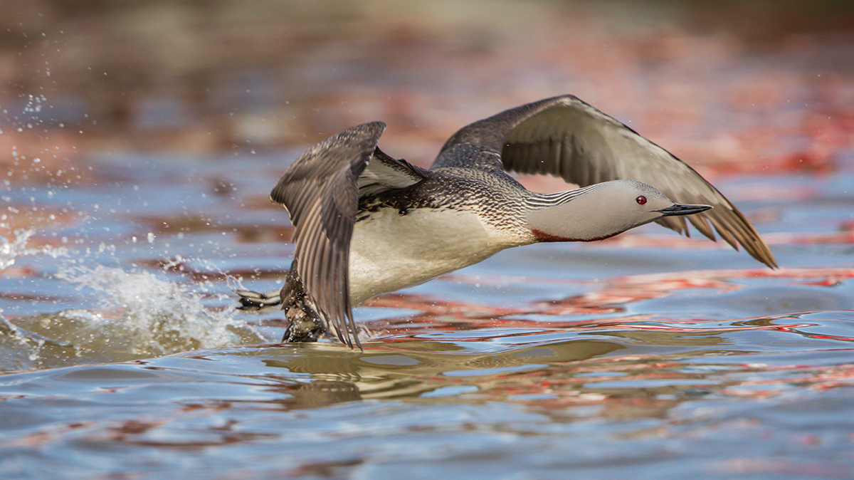 Red Throated Loon, Anchorage, AK