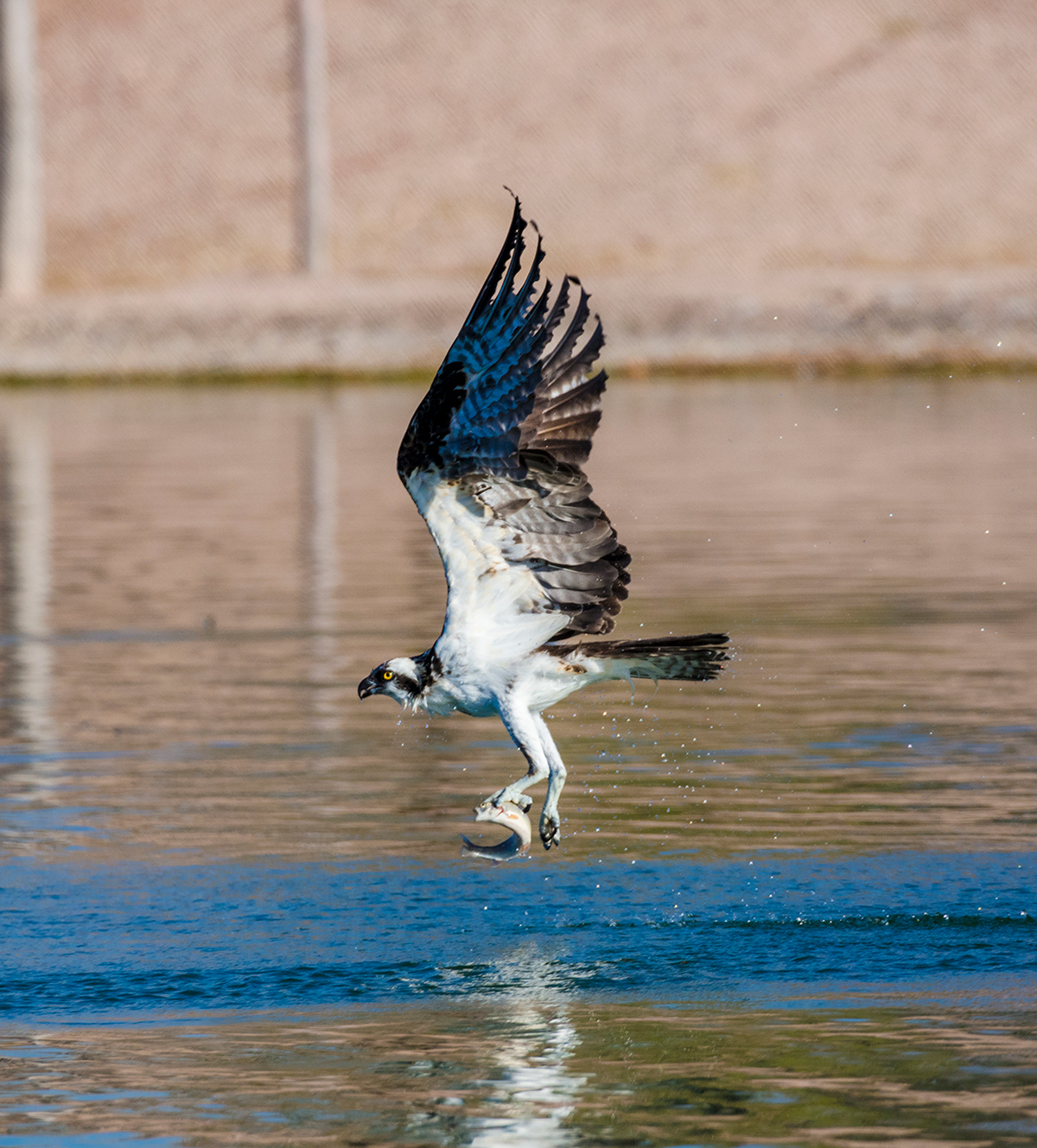 Osprey catching a fish, Henderson, NV