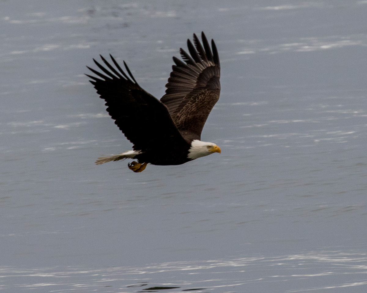 Bald Eagle flying over the ocean