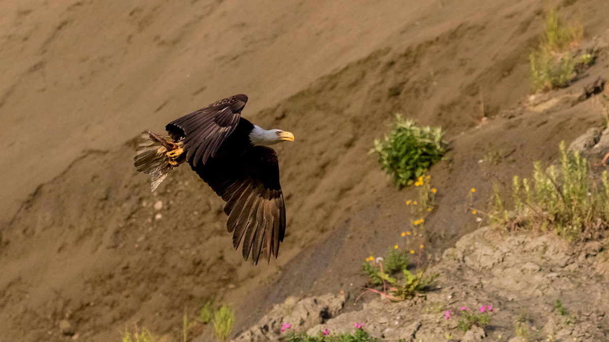 Bald Eagle flying over cliffs