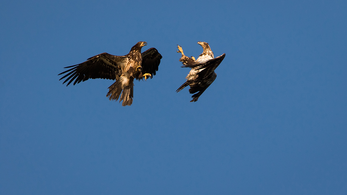 Juvenile Bald Eagles sparing
