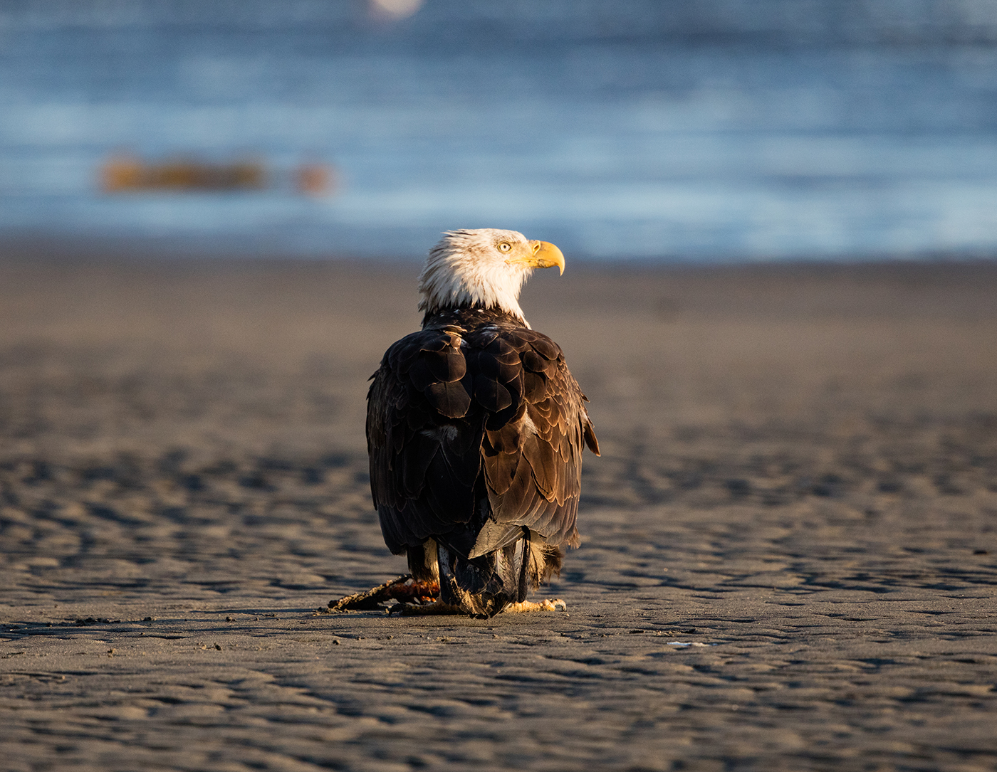 Bald Eagle sitting on the beach