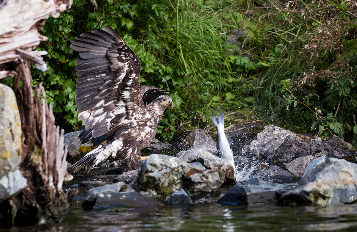 Juvenile Bald Eagle fishing in the creek