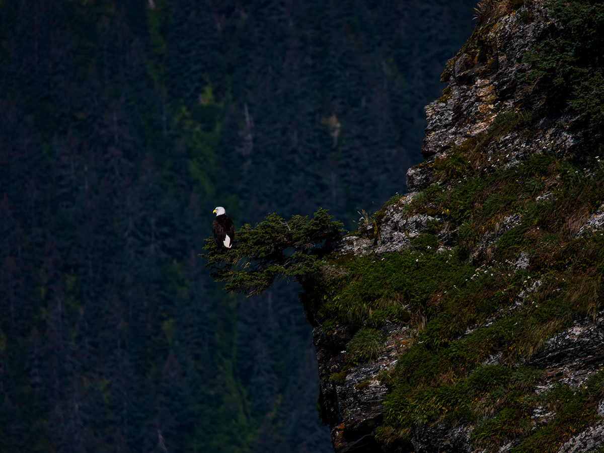 Bald Eagle on a cliff