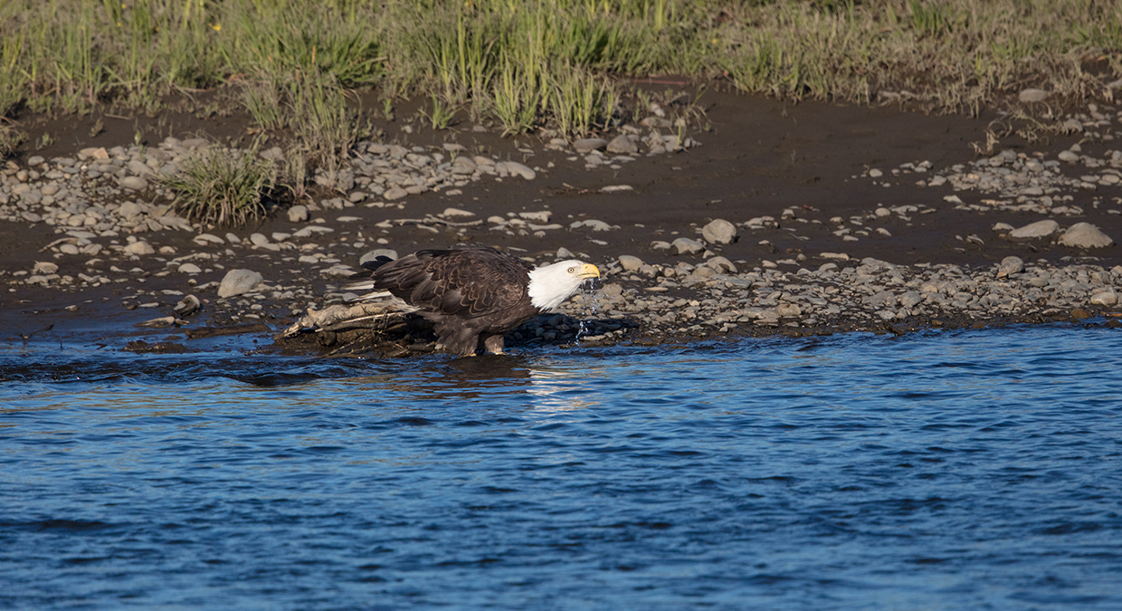 Bald Eagle drinking water