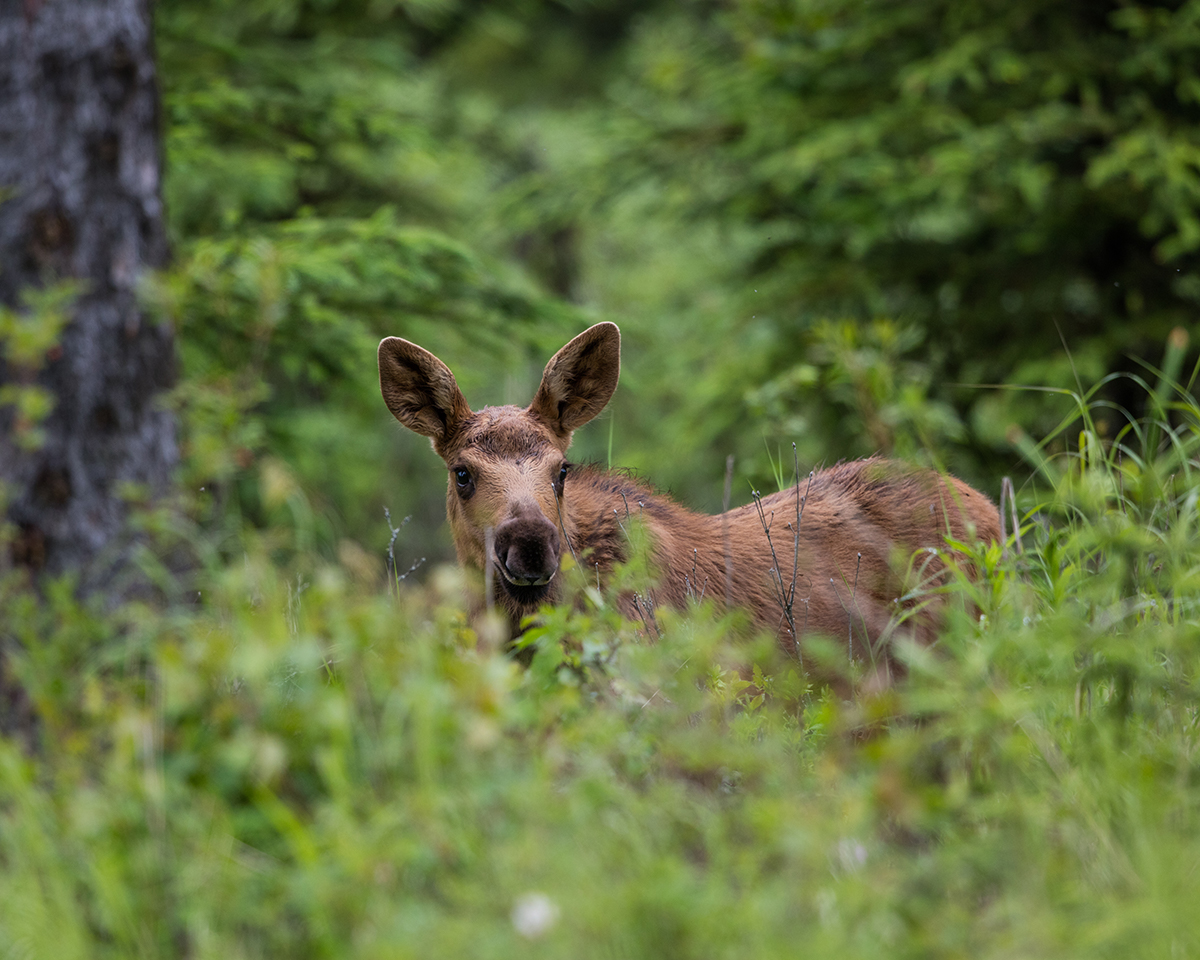 Baby Moose, Sterling, AK