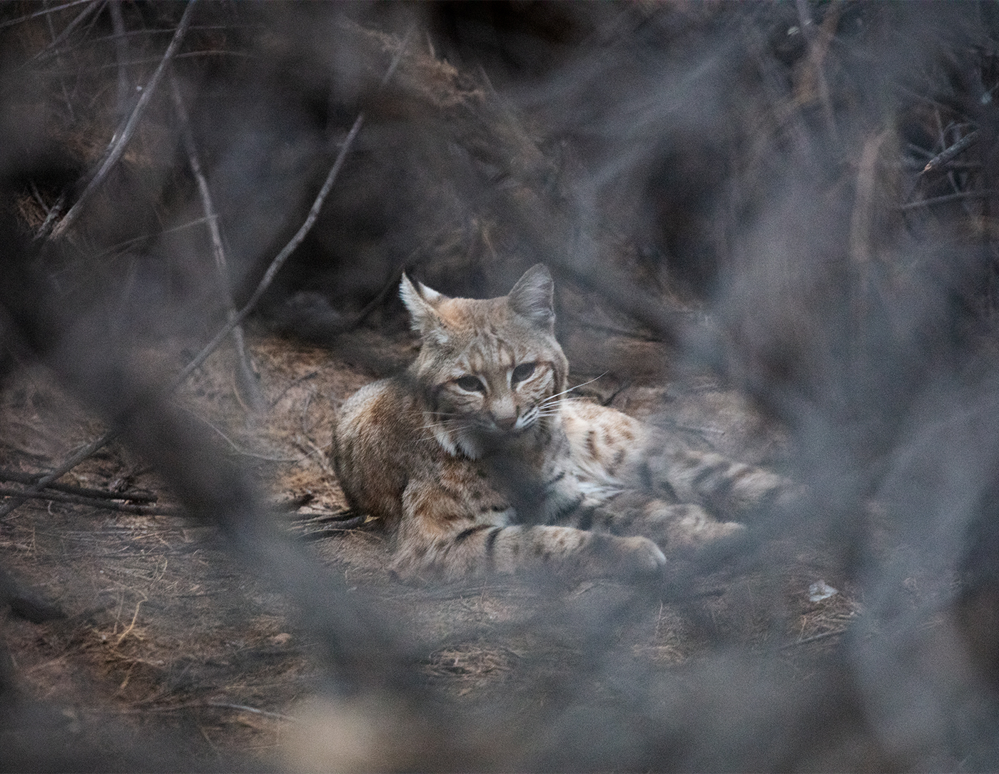 Bobcat in the bushes, Mesa, AZ