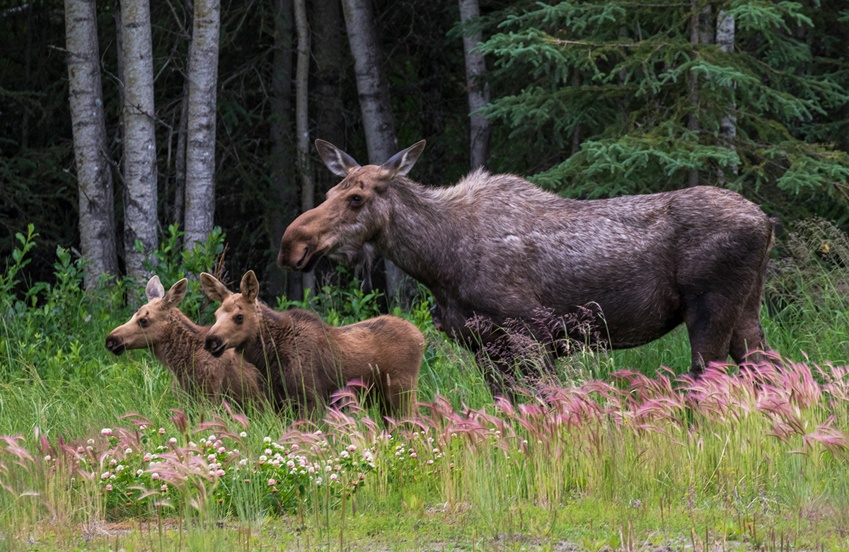 Cow and her calves - Moose, Sterling, AK