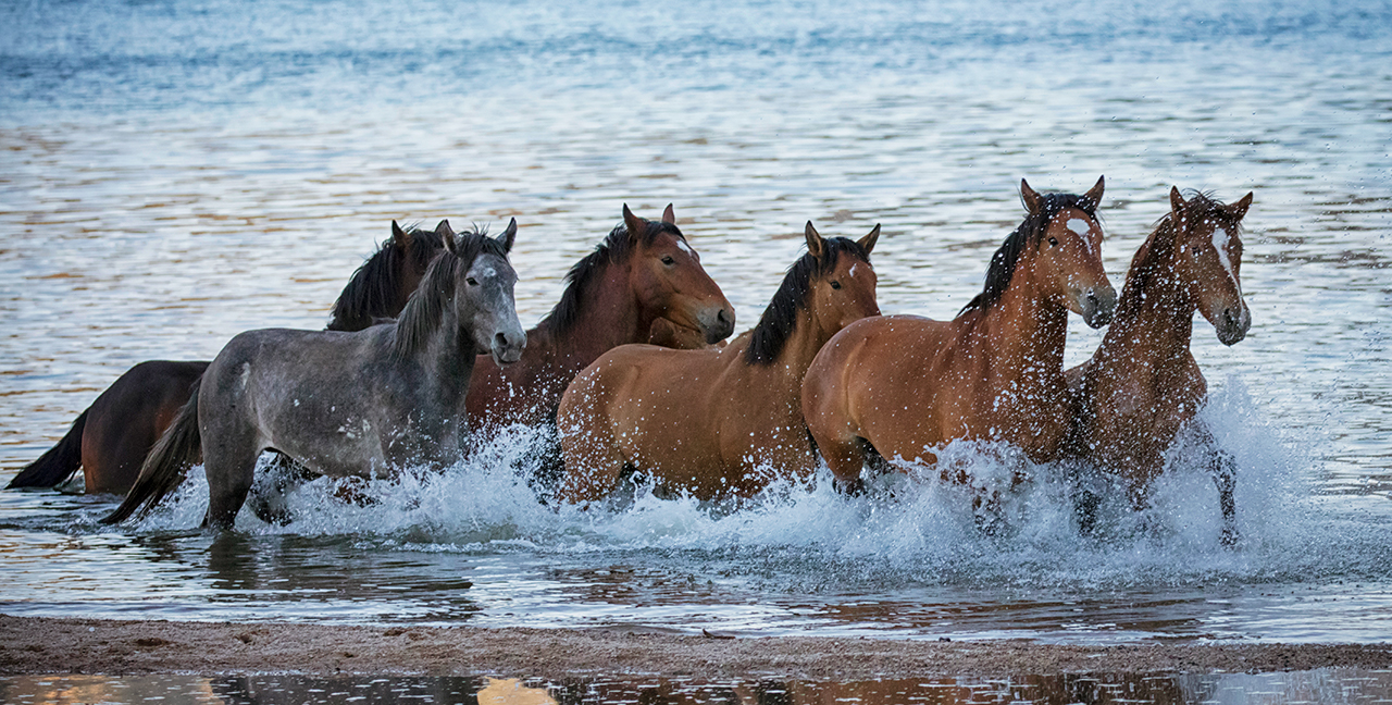Band of Wild Horses, Salt River, AZ
